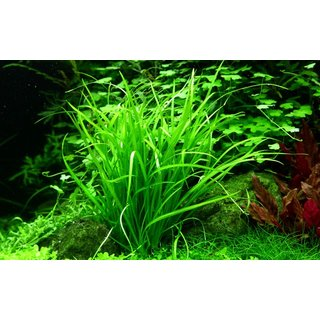 Helanthium tenellum Green (1-2-Grow!)